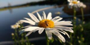 Margarida com fundo de lago e abelha em cima da flor