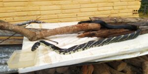 cobra caninana